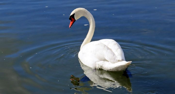 single swan2