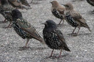 Group-Starlings-Ground.jpg.838x0_q80