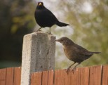 mr and mrs blackbird