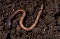 worm best